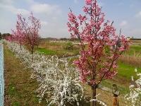 デンパーク 河津桜