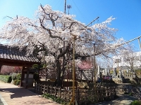 源空院の桜