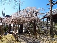 宿縁寺の桜