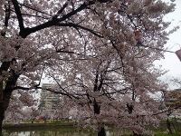 亀城公園の桜