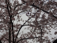 東浦町の於大公園の桜