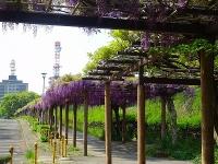 名古屋城と藤の回廊
