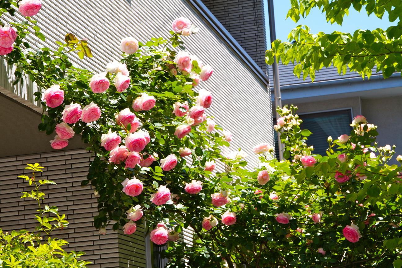 玄関上部の薔薇
