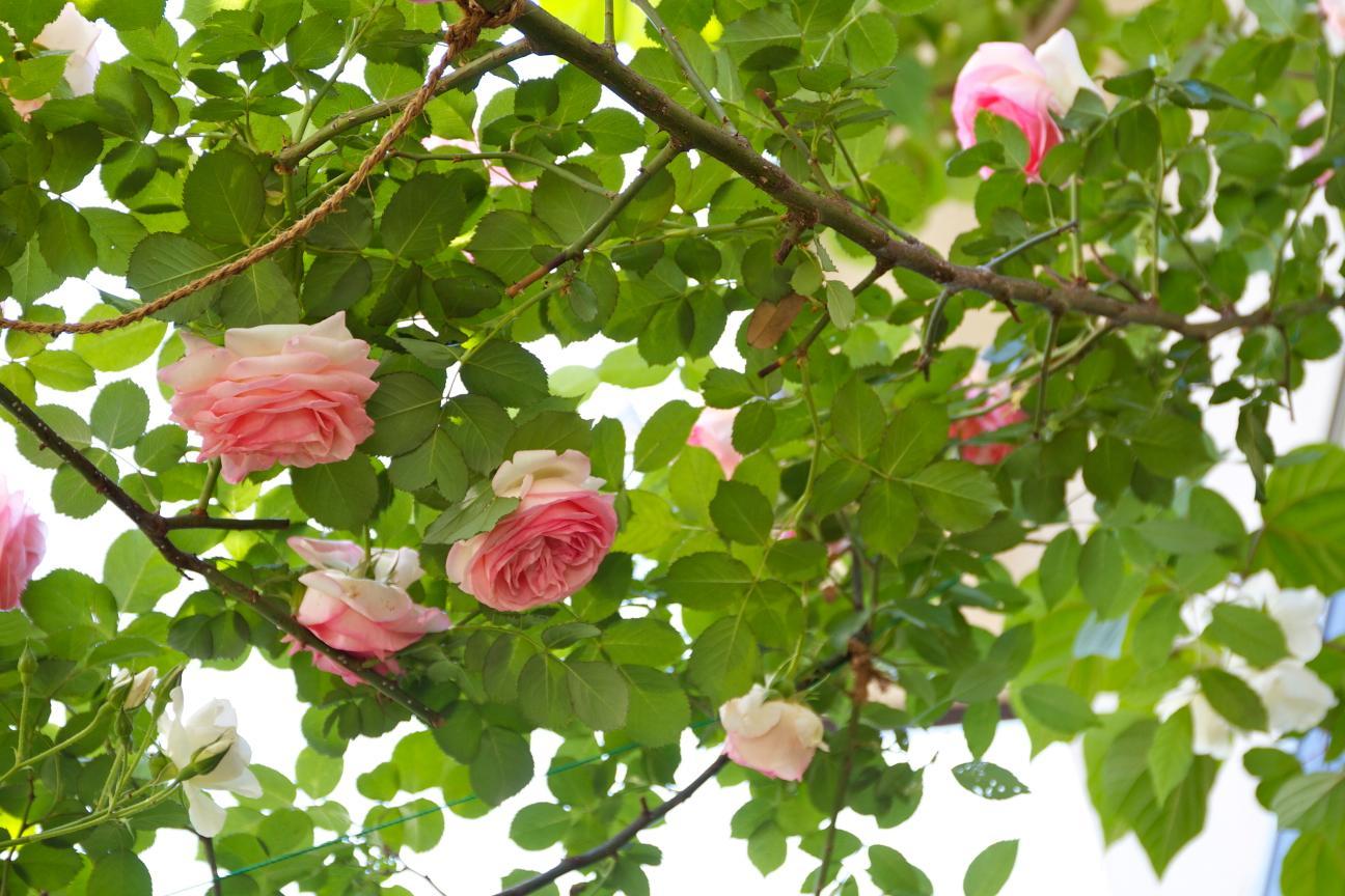 葉を見るバラ