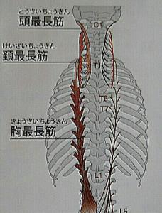 頭最長筋、頸最長筋、胸最長筋