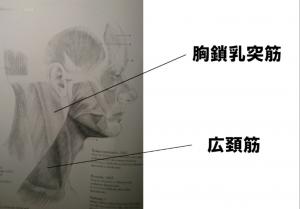 胸鎖乳突筋と広頚筋