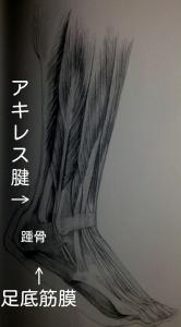 アキレス腱と足底筋膜に引っ張られる踵骨