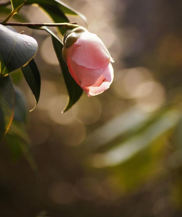 山茶花と咲き分けのツバキ (628x750)