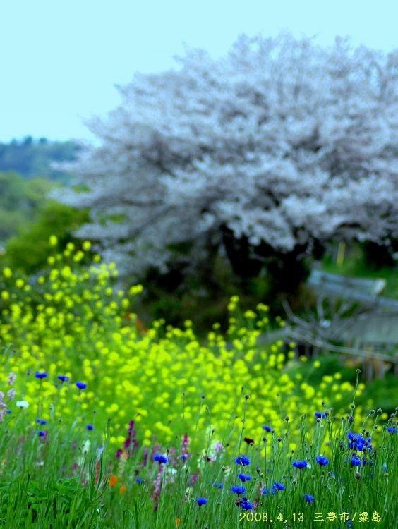 桜を撮る (564x750) (2)