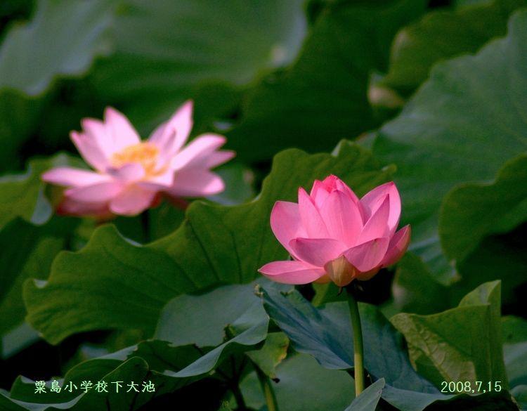 粟島の蓮 (750x585)