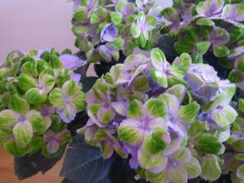 フラワーリース講座・紫陽花