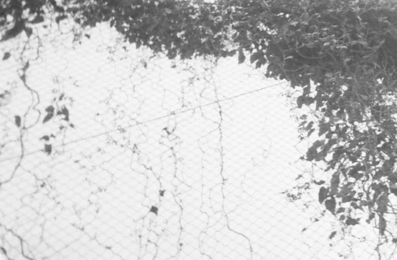 フェンスに絡む草