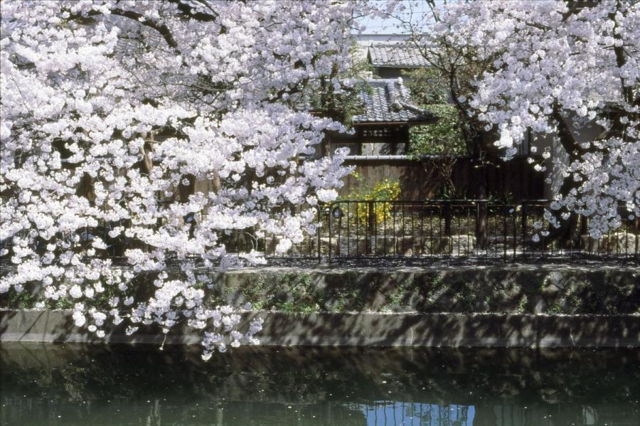 桜 藤森 琵琶湖疏水1
