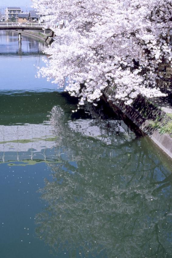 桜 藤森琵琶湖疏水4