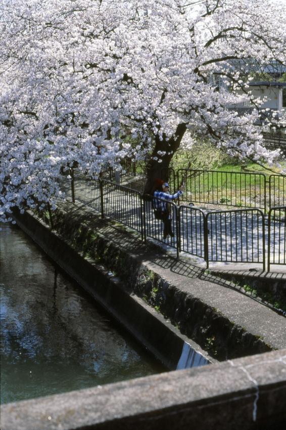 桜 藤森琵琶湖疏水2