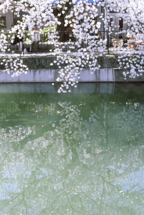 桜 藤森琵琶湖疏水3