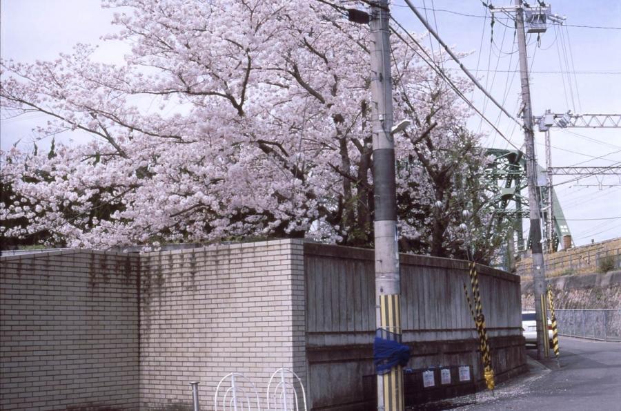 桜 宇治川沿い小学校