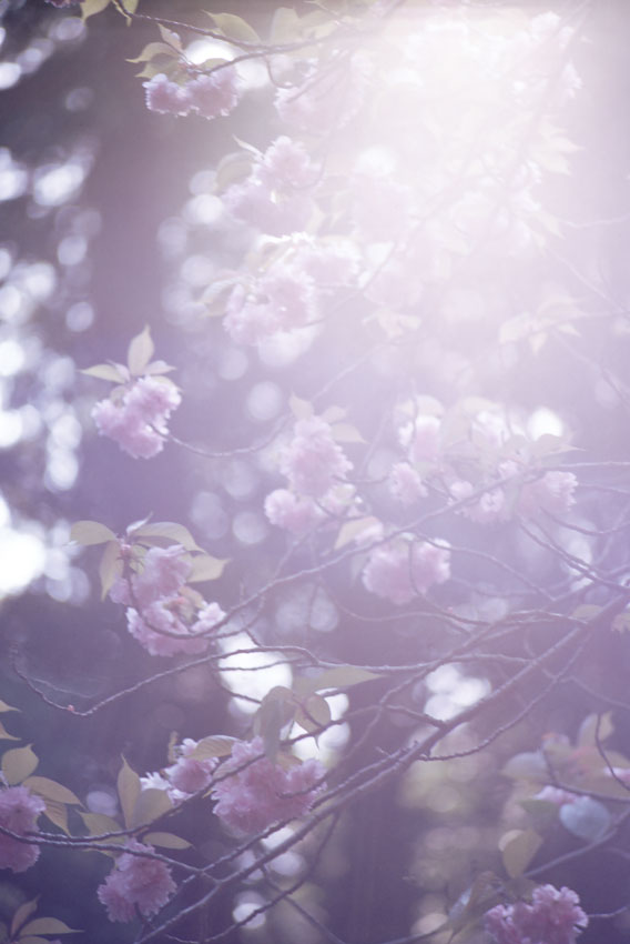 山科疎水の名残の桜