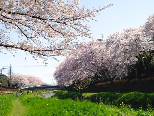 野川の桜①