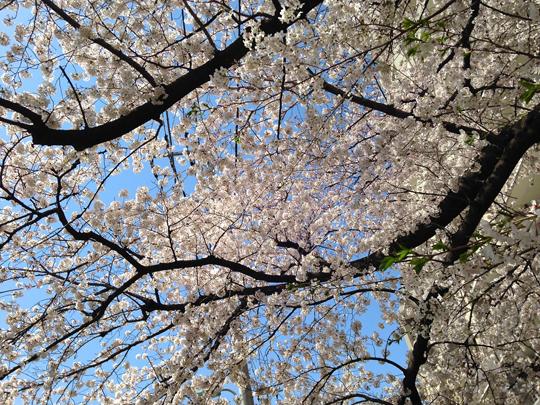 野川の桜②