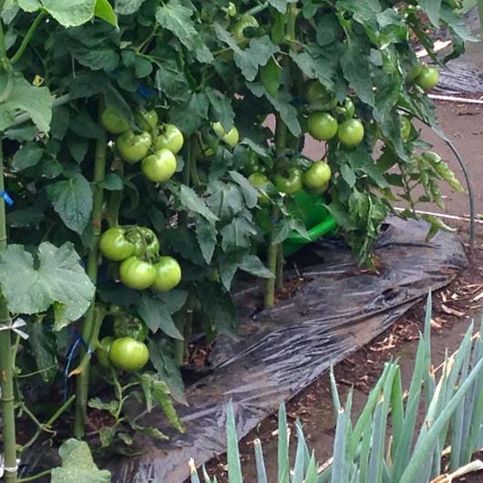市民農園トマト