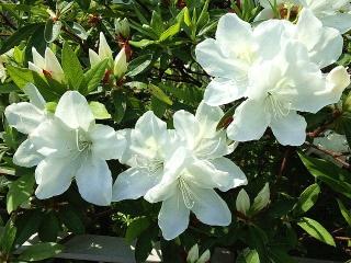 150425_3060周りの花壇の白ツツジVGA