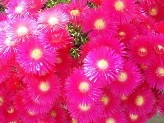 150520_3112家の周りの花壇に咲いていた紅い花VGA