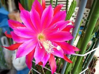 150603_3142昨夜遅くに咲いた孔雀サボテンの花VGA