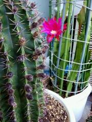 150604_3144今朝の親サボテンの蕾の元と孔雀サボテンのしぼみかけた花VGA縦