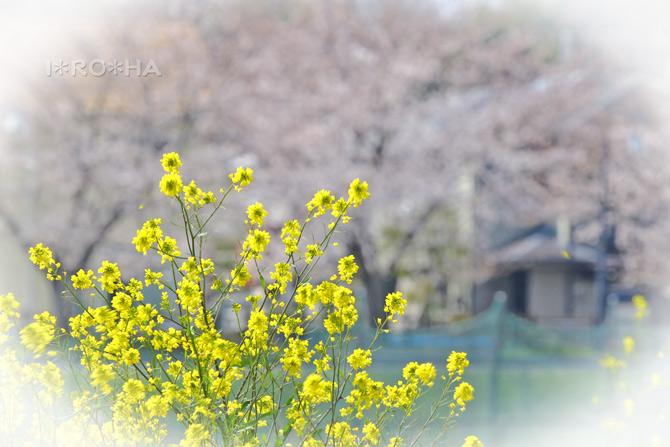 芥子菜と桜