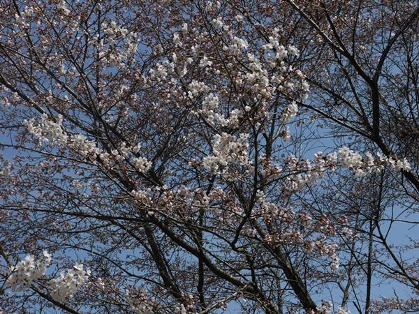 2015年3月29日(桜)