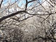 20150310梅の花3
