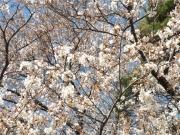 20150327桜1