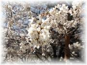 20150327桜2