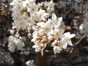 20150327桜3