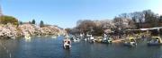 20150331井の頭公園桜1