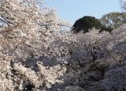 20150331井の頭公園桜2