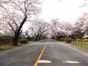 20150401ICU桜1