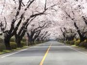 20150401ICU桜2