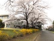 20150401ICU桜3