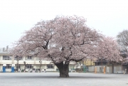20150401三鷹第二小学校桜2