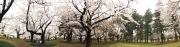 20150401小金井公園桜1