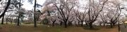 20150401小金井公園桜2