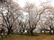 20150401小金井公園桜3