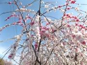 20150403桜2