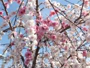 20150403桜3