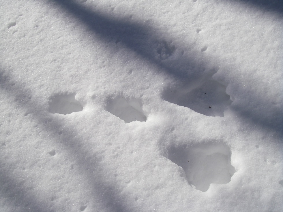 ノウサギ足跡