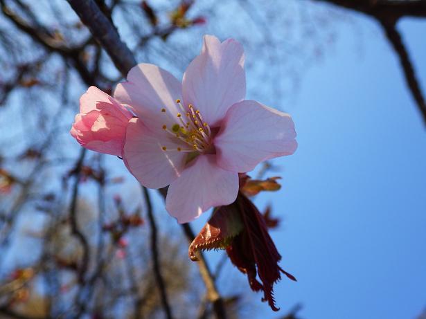 オオヤマザクラ開花