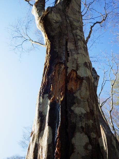 ブナ樹液0427 のコピー