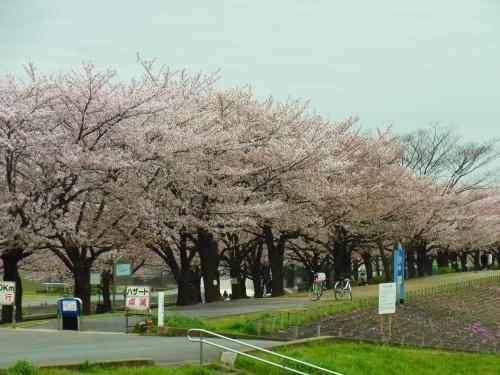 150404-202桜並木(S)